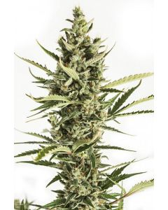 Amnesia Fem - SeedSalad