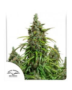 Auto Mazar® - DutchPassion
