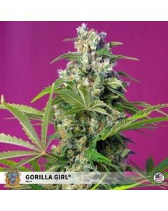 Gorilla Girl Fem - Sweet Seeds
