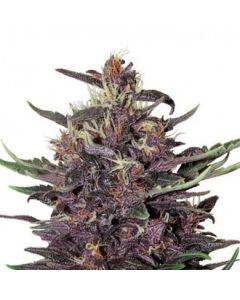 Purple Kush  - BuddahSeeds