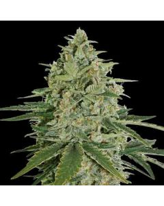 Super Skunk  seedstockers