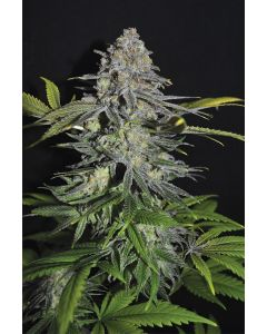 Superskunk Fem - SeedSalad